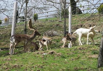 La família dels cèrvids és nombrosa: cérvols, daines, isards, muflons, cabirols... / © Gg