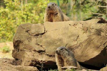 Encara hi ha certa mandra, però les marmotes ja estan despertes. /© Molló Parc