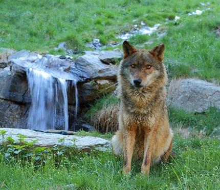 El llop, un dels nostres animals preferits. / © Molló Parc