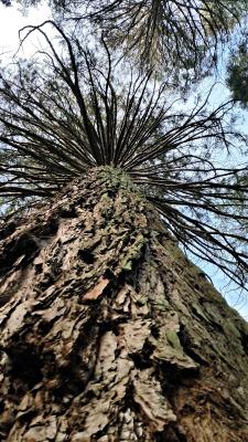 Molts dels arbres superen els 40 metres d'alçada. /© Gg