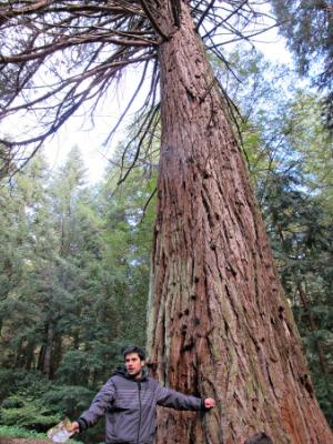 En aquest bosc hi ha la sequoia gegant més ample de Catalunya. /© Gg