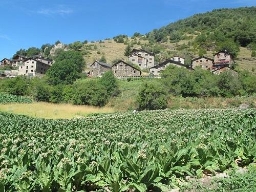 Els camps i el bestiar eren la base econòmica de la societat andorrana, fins i tot la benestant /© Gg